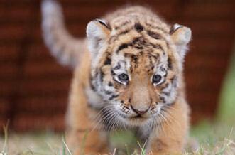 善良的老虎妈妈